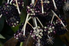 Καρποί ιαπωνικό aralia Στοκ Εικόνες