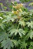 Καρποί ιαπωνικό aralia Στοκ Εικόνα