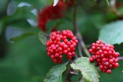 Καρποί κόκκινο elderberry Στοκ Εικόνα