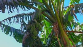 Καρποί μιας μπανάνας σε ένα δέντρο ενάντια σε έναν μπλε ουρανό απόθεμα βίντεο