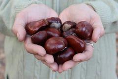 Καρποί του κάστανου στα χέρια Στοκ Φωτογραφία
