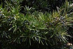 Καρποί podocarpus Στοκ Εικόνες