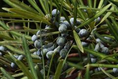 Καρποί podocarpus Στοκ Φωτογραφία