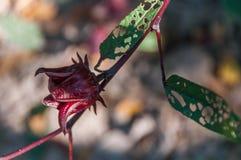 καρποί roselle Φυσικός, χορτάρι στοκ φωτογραφίες
