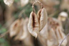 Καρποί senna Colutea κύστεων arborescens στοκ εικόνες