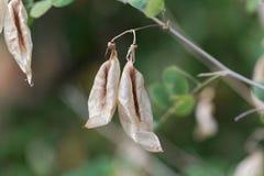 Καρποί senna Colutea κύστεων arborescens στοκ φωτογραφία