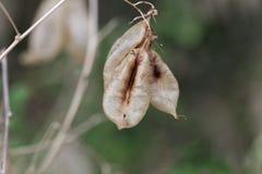 Καρποί senna Colutea κύστεων arborescens στοκ φωτογραφίες