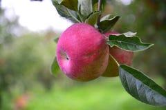 Καρπός της Apple Στοκ Εικόνες