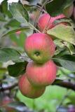 Καρπός της Apple Στοκ Εικόνα