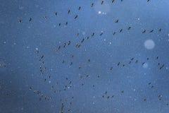 Καρφίτσα-πληρωμένη μετανάστευση χήνων σε μια χιονοθύελλα Σκωτία Στοκ Φωτογραφίες