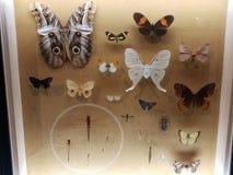 Καρφωμένα πεταλούδες και έντομα σκώρων κάτω από το γυαλί στοκ εικόνες