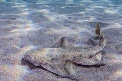 Καρχαρίας αγγέλου Στοκ Εικόνες