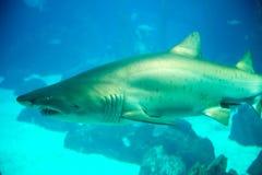 Καρχαρίας από την κύρια δεξαμενή της Λισσαβώνας Oceanarium Στοκ Εικόνα