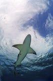 Καρχαρίας λεμονιών Στοκ φωτογραφία με δικαίωμα ελεύθερης χρήσης