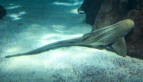 Καρχαρίας λεοπαρδάλεων γνωστός επίσης ως ζέβρα καρχαρίας στοκ φωτογραφία με δικαίωμα ελεύθερης χρήσης