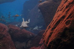 Καρχαρίας λεοπαρδάλεων στοκ φωτογραφία με δικαίωμα ελεύθερης χρήσης