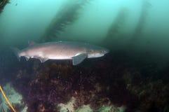 Καρχαρίας επτά βραγχίων Στοκ Εικόνες