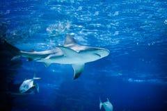 Καρχαρίας και μικρή κολύμβηση ψαριών Στοκ Εικόνα