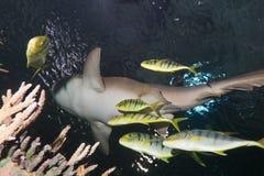 καρχαρίας νοσοκόμων pilotfish Στοκ εικόνα με δικαίωμα ελεύθερης χρήσης