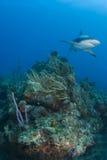 καρχαρίας σκοπέλων ευρύς Στοκ εικόνες με δικαίωμα ελεύθερης χρήσης