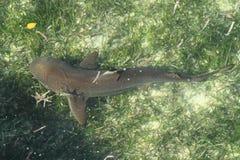 Καρχαρίας σκοπέλων Blacktip στοκ εικόνες