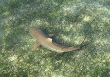 Καρχαρίας σκοπέλων Blacktip στοκ εικόνα
