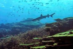 Καρχαρίας σκοπέλων Whitetip Στοκ εικόνες με δικαίωμα ελεύθερης χρήσης