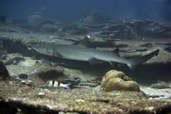 καρχαρίας σκοπέλων whitetip στοκ εικόνα με δικαίωμα ελεύθερης χρήσης