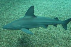 Καρχαρίας σκοπέλων άμμου Στοκ Εικόνες