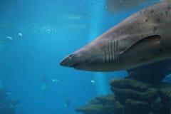 Καρχαρίας σκοπέλων άμμου Στοκ φωτογραφία με δικαίωμα ελεύθερης χρήσης