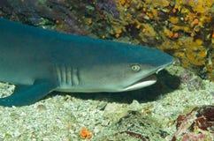 Καρχαρίας σκοπέλων άσπρος-ακρών Στοκ φωτογραφία με δικαίωμα ελεύθερης χρήσης