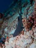 Καρχαρίας σκοπέλων Whitetip Στοκ Εικόνα