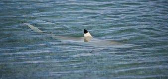 Καρχαρίας στη δεξαμενή χώνευσης Στοκ φωτογραφία με δικαίωμα ελεύθερης χρήσης