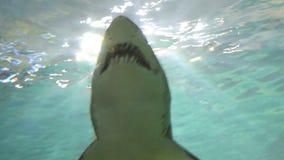 Καρχαρίας στο ενυδρείο απόθεμα βίντεο