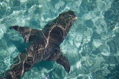 Καρχαρίας στο σαφές νερό του σκοπέλου, νησί Αυστραλία ερωδιών Στοκ Φωτογραφίες