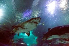 Καρχαρίας στο oceanarium στοκ φωτογραφίες