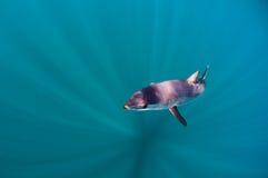 Καρχαρίας της Mako στοκ φωτογραφίες