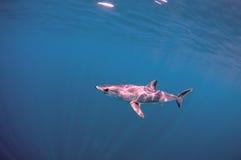Καρχαρίας της Mako Στοκ εικόνα με δικαίωμα ελεύθερης χρήσης