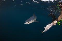 Καρχαρίας της Mako Στοκ φωτογραφία με δικαίωμα ελεύθερης χρήσης