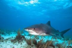 Καρχαρίας τιγρών στοκ εικόνες