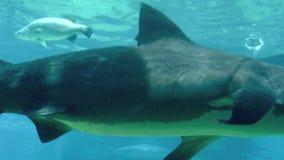 Καρχαρίας του Bull στο παγκόσμιο Gold Coast Αυστραλία θάλασσας φιλμ μικρού μήκους