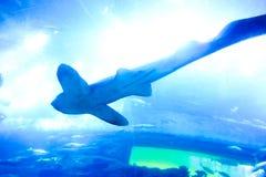 Καρχαρίας - υποβρύχια ζωή Στοκ Φωτογραφίες