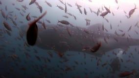 Καρχαρίας φαλαινών κοντά διαφορετικό σε υποβρύχιο σκαφάνδρων στο υπόβαθρο του βυθού Galapagos απόθεμα βίντεο