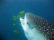 Καρχαρίας φαλαινών που τρώει το πλαγκτόν στοκ φωτογραφία