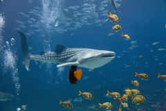 Καρχαρίας φαλαινών Στοκ Φωτογραφία