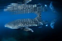 Καρχαρίας φαλαινών Στοκ Εικόνες