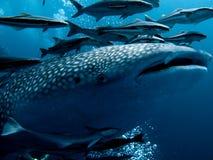 Καρχαρίας φαλαινών - typus Rhincodon Στοκ φωτογραφία με δικαίωμα ελεύθερης χρήσης