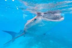 Καρχαρίας φαλαινών στις Φιλιππίνες, Oslob στοκ εικόνα