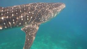 Καρχαρίας φαλαινών στον ωκεανό απόθεμα βίντεο