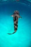 Καρχαρίας φαλαινών στο τυρκουάζ νερό στοκ εικόνες